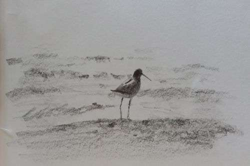 Willet, pencil sketch by Daniel Ambrose