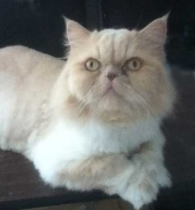 Puppy the persian cat