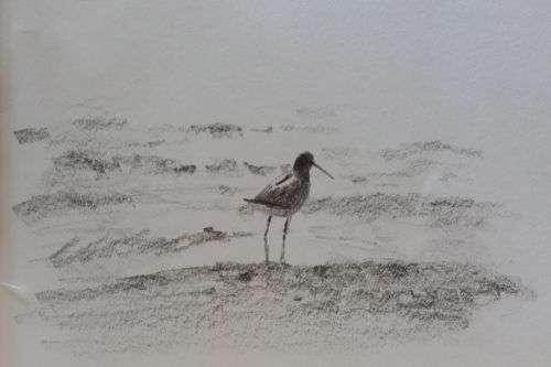 Willet, pencil sketch by Daniel Ambrose