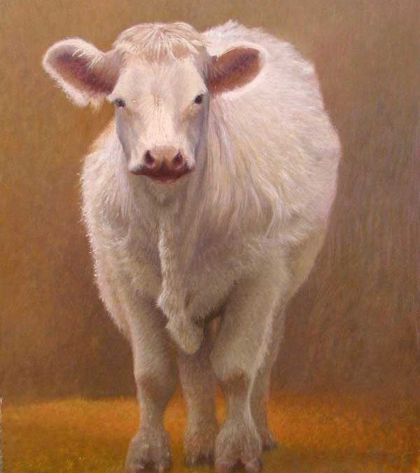 The Elusive Charolais Cow